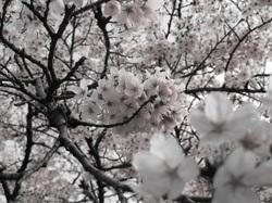 Sakura_2011_03