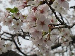 Sakura_2011_04_2