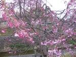 Sakura_2011_05