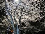 Sakura_2011_10